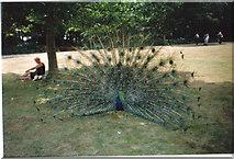 SZ0287 : Peacocks at Brownsea Island by Carol Walker