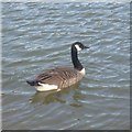 NZ2813 : Canada goose by Stanley Howe