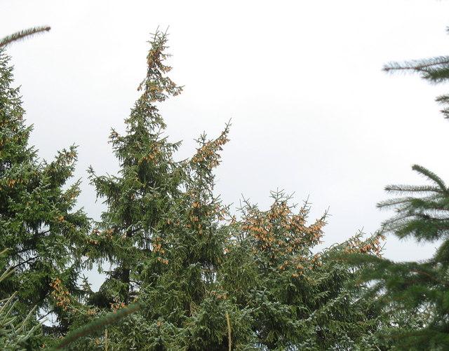 Cone-laden trees