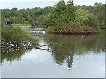 SE2741 : Golden Acre Park Lake, with cormorant by Rich Tea