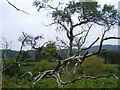 NZ2840 : Dead trees on river bank River Wear at Shinclife by P Glenwright