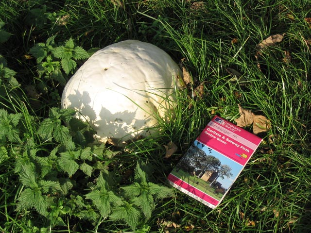 Giant Puff-Ball Fungus