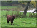 TQ0652 : Dexter Cow by the Lake, Hatchlands Park by Colin Smith