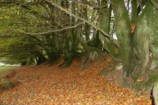 Old Beech Hedge near Staddon Hill
