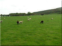 SY9482 : Sheep grazing near Norden farm by N Chadwick