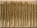 NK0125 : Sands of Forvie. Sand patterns on the leading edge of a dune. by Martyn Gorman