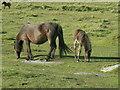 SX5671 : Ponies by Bob Harvey