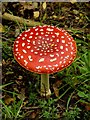 TG1431 : Fly agaric by Hugh Chevallier