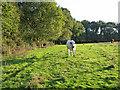 SU1011 : Cattle in pasture Alderholt Dorset by Clive Perrin