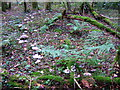 SN1339 : 'Fairy ring' in the forest by ceridwen