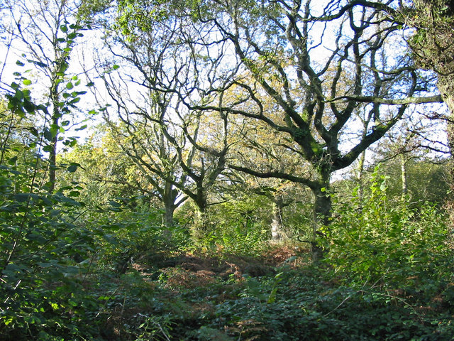 Hazel coppice with oak standards Hillcombe Coppice Dorset