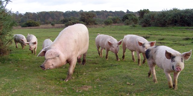 Pig and piglets on Black Knowl heath, New Forest