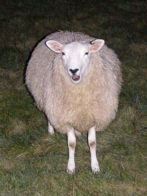 Nocturnal sheep, Avebury henge