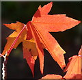 TQ2783 : Maple leaves in Regent's Park by David Hawgood