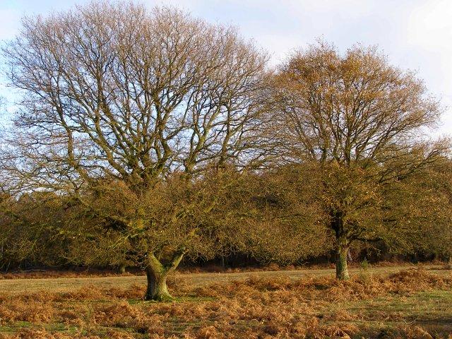 Autumnal oaks on Matley Heath, New Forest