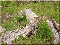 V8363 : Bog oak by Richard Webb