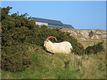 SH7783 : The Great Orme and Billy by John S Turner
