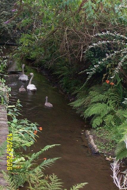 Swans on the Par River