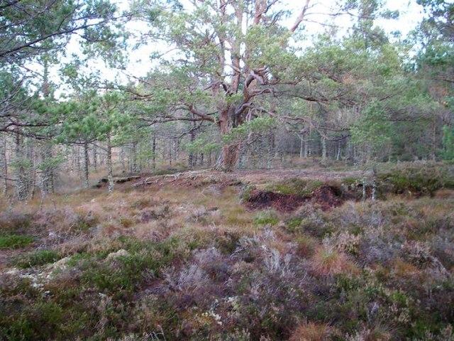 Pinewood on old peat-hag, Culstank Moss