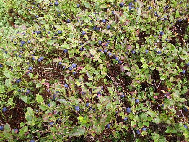 Whinberries at Rosebush