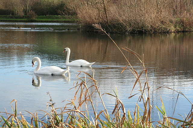Axmouth: swans at Lower Bruckland