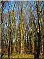 NS3727 : Wood Near Brieryside by Iain Thompson