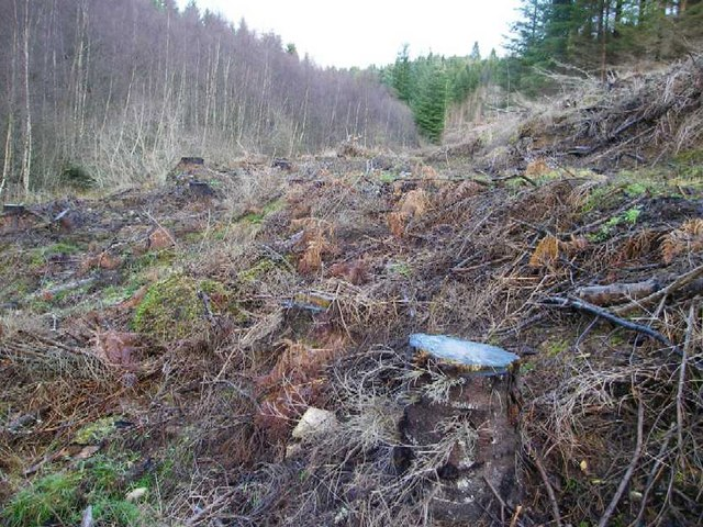 Recently felled spruce woodland