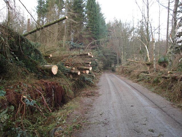 Toppled trees near Brewlands