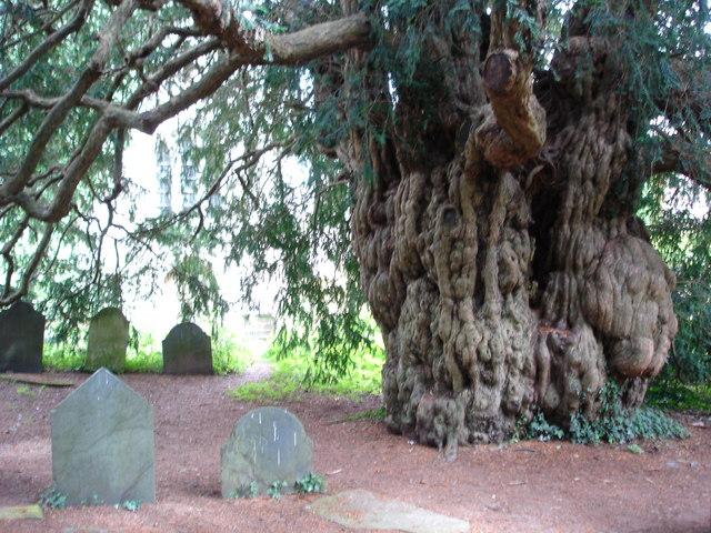 Yew Tree in Dartington Hall Gardens