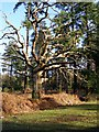 SU2508 : Dead oak surrounded by firs in Highland Water Inclosure, New Forest by Jim Champion