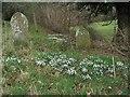 SJ2430 : Snowdrops at Christ Church, Rhydycroesau by Peter Craine