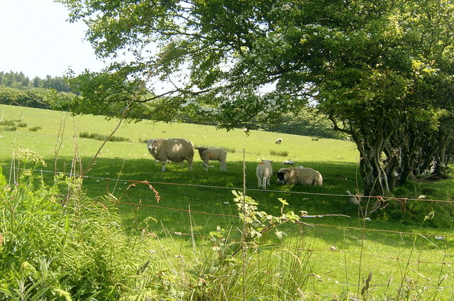 Sheep, Ballymeanochglen Farm track, Kildonan, Arran