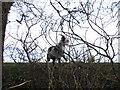 SJ5465 : Goat in Utkinton by John S Turner