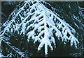 NJ3557 : Snow on Branches by Anne Burgess