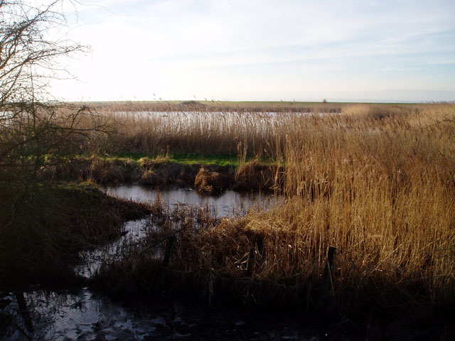 Reedbeds by the Severn estuary