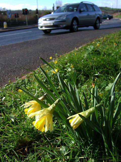 Daffodils by Riviera Way