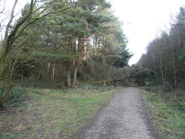 Farley Moor - Woodland Paths Meet at Fallen Tree