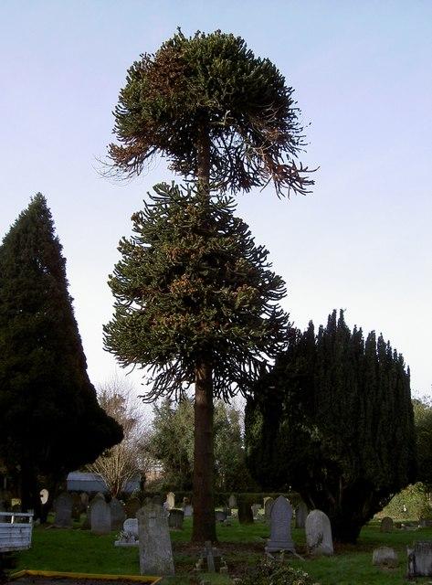 Chile Pine Tree