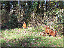 ST9929 : Hens scratching on the verge near St Georges Church, Fovant by Maigheach-gheal