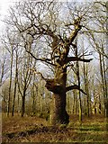 SU2265 : Queen Oak, Savernake Forest by Brian Robert Marshall