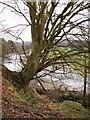 NY4075 : Tree and River Liddel by Howard Mattinson