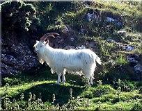 SH7783 : Feral Kashmiri goat grazing rough vegetation on the Great Orme, Llandudno by Tom Pennington