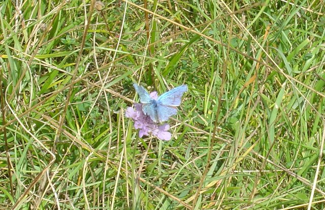Rare Adonis Blue butterfly on Rodborough Common