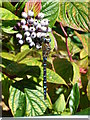 SZ1792 : Migrant Hawker, Mudeford by Ildiko Scurr