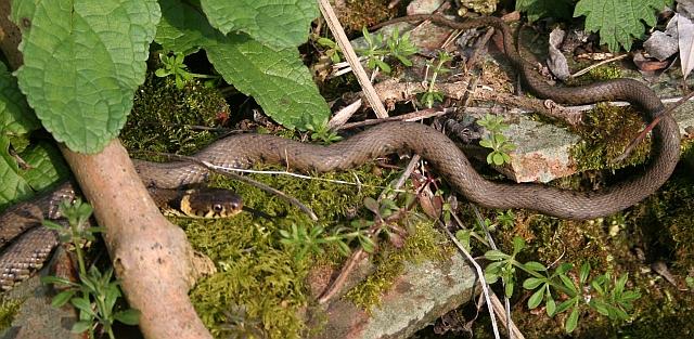 Grass Snake, Welland Mill