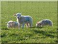 NY5245 : Lambs at Bascodyke by Andrew Smith