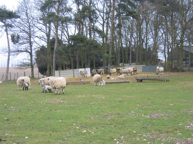 Ewes and  lambs, Highfield House near Tattersett