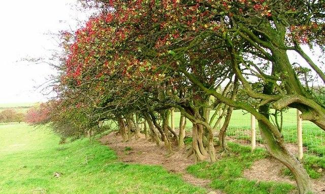 Overgrown Hawthorn Hedge