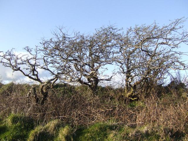 Stunted hawthorn