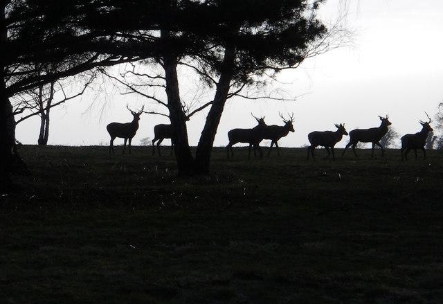 Red deer on heathland